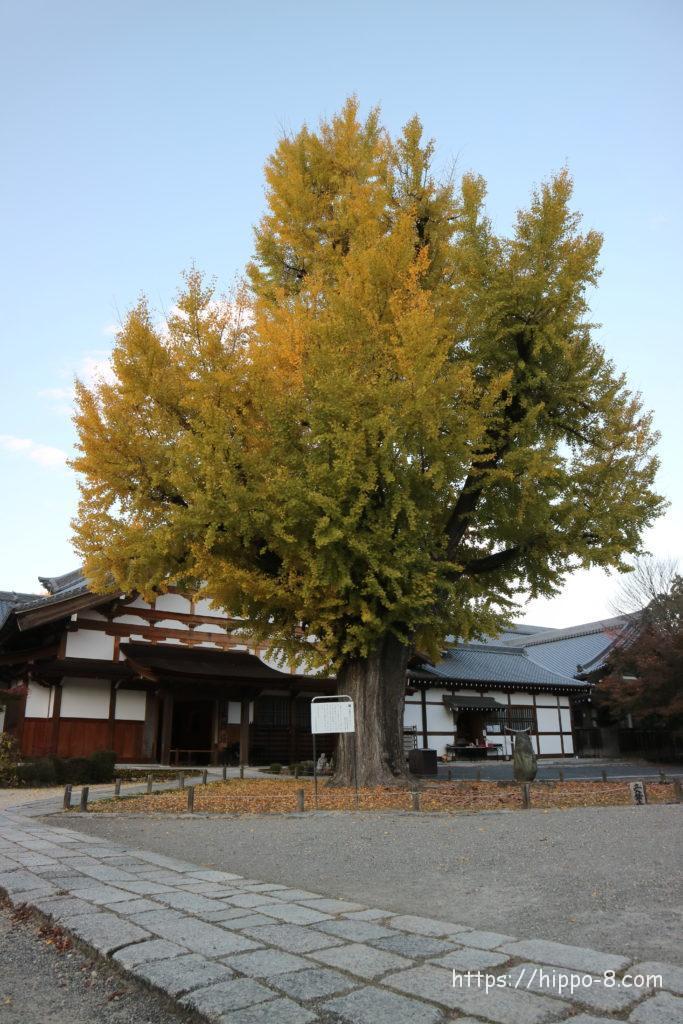 多治見,永保寺,イチョウの木