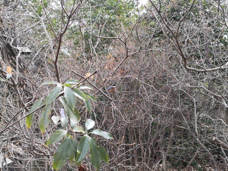 弥勒山野鳥ヤマガラ